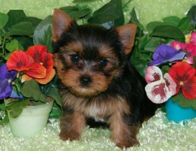 Maltipoo Puppies for sale also Teacup Yorkie Puppies For Sale Australia also The Cute Pomsky Puppies Information likewise Teacup Puppies For Sale In West Virginia Wv further Apricot Toy Poodle Puppies For Sale Near Atlanta Georgia Ga. on teacup poodle breeders ga